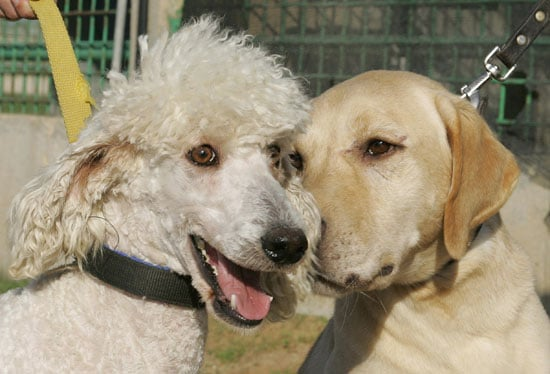 Where Did Labradoodles Come From