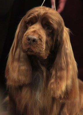 What Do You Know About Sussex Spaniels?