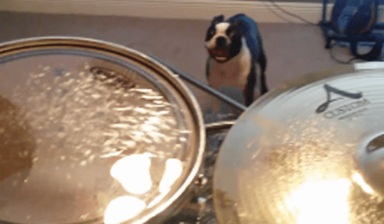 Boston Terrier Is Not a Fan of the Drums