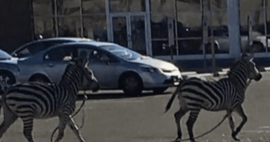 Escaped Zebras Run Amuck On Philly Streets