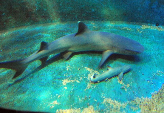 The Scoop: Shark Virgin Welcomes Baby!