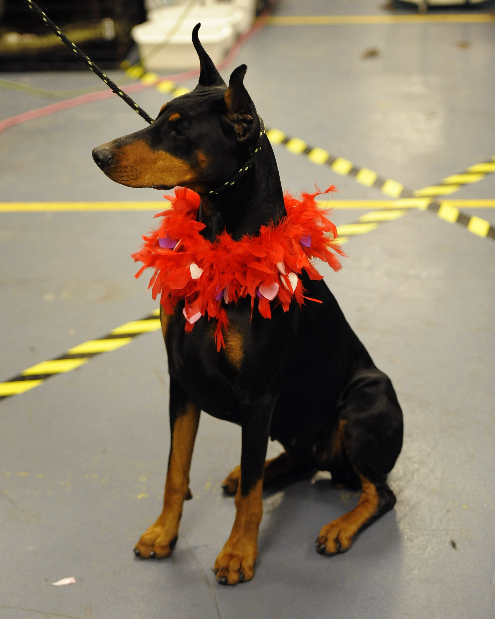 Doberman Mia believes you should look your best whether in the ring or out.
