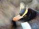 Erect Crested Penguins