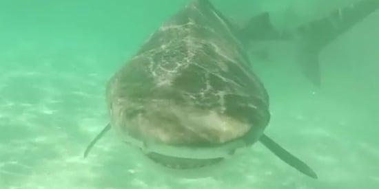 70 Tiger Sharks Devour Humpback Whale In Australia's Shark Bay