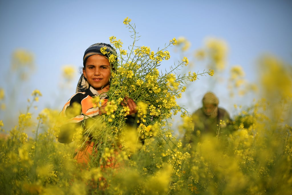A young girl collected wild mustard flowers, which bloom across the Gaza Strip.