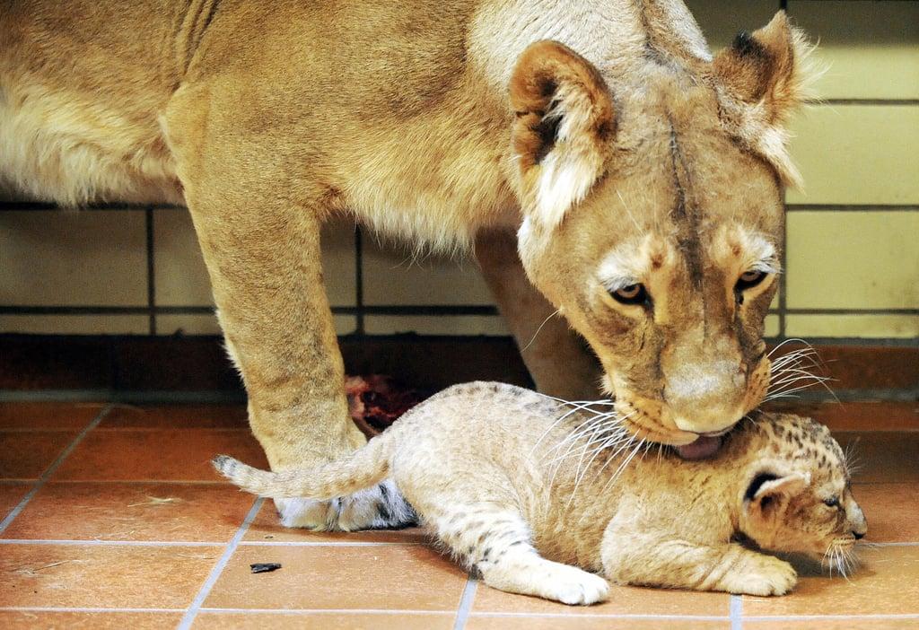 Adoro Baby Lion From Dortmund, Germany