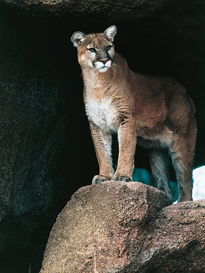 Colorado Mom Saves Son, 5, from Mountain Lion Attack, Officials Say