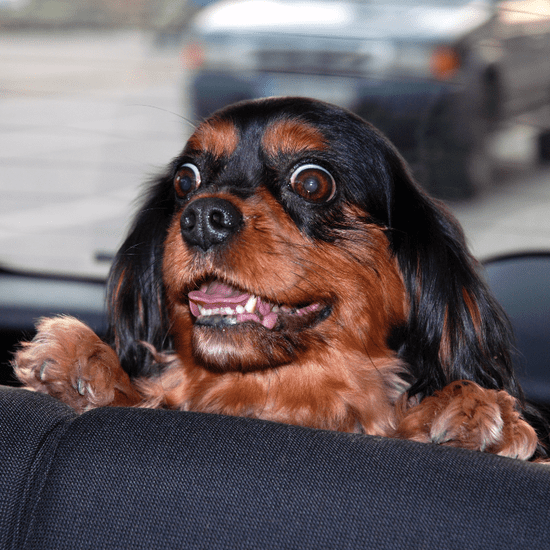 What to Bring on a Road Trip With Pets