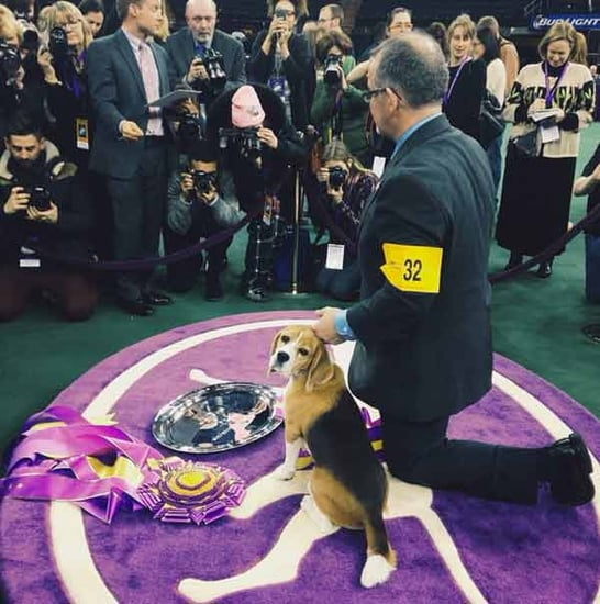 Miss P the Beagle Wins Best in Show at Westminster