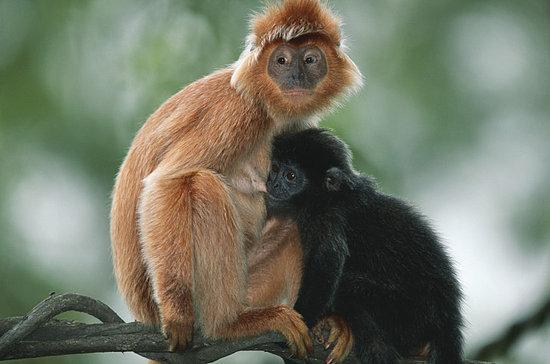 Crowds Flock to Monkey Wedding