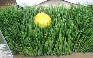 Easy Spring Centerpiece: Wheatgrass