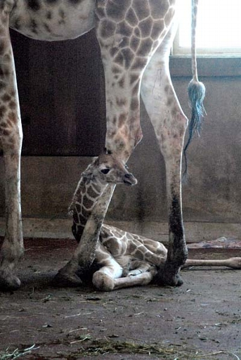 This Giraffe Cutie Is Only Two Days Old!