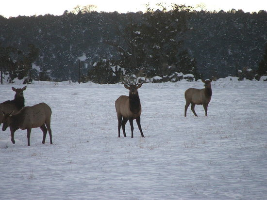 Elk, bulls and cows passing through the ranch.