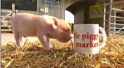 Cute Alert: Little Bitty Piglets!