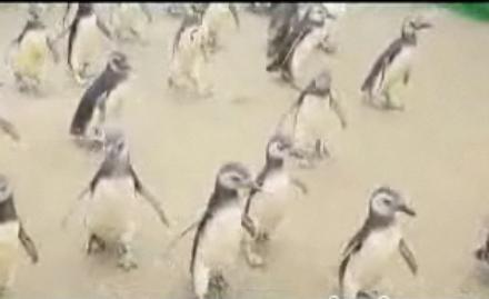 Cute Alert: Rehabbed Penguins Get Released!