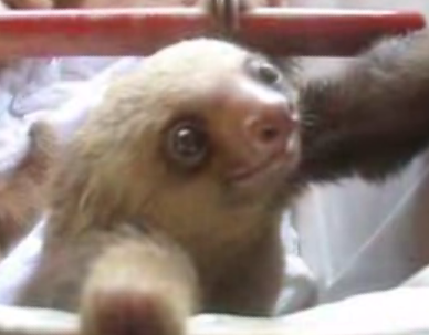 Friendly Sloth Says Hello