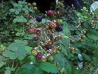 It's Blackberry Season!