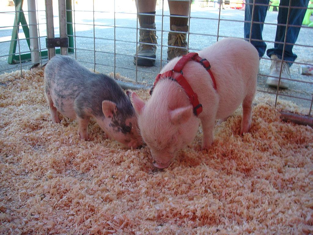 Tiny Piggies