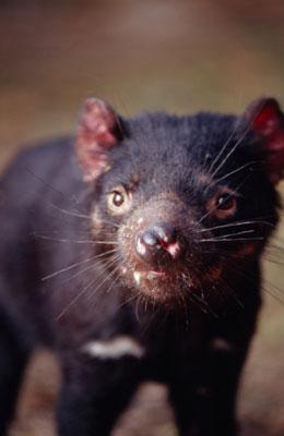 Creature Feature: Tasmanian Devil
