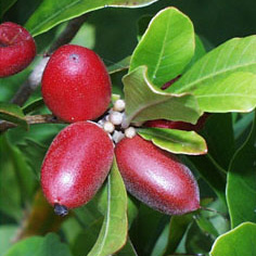 Meet The Miracle Berry