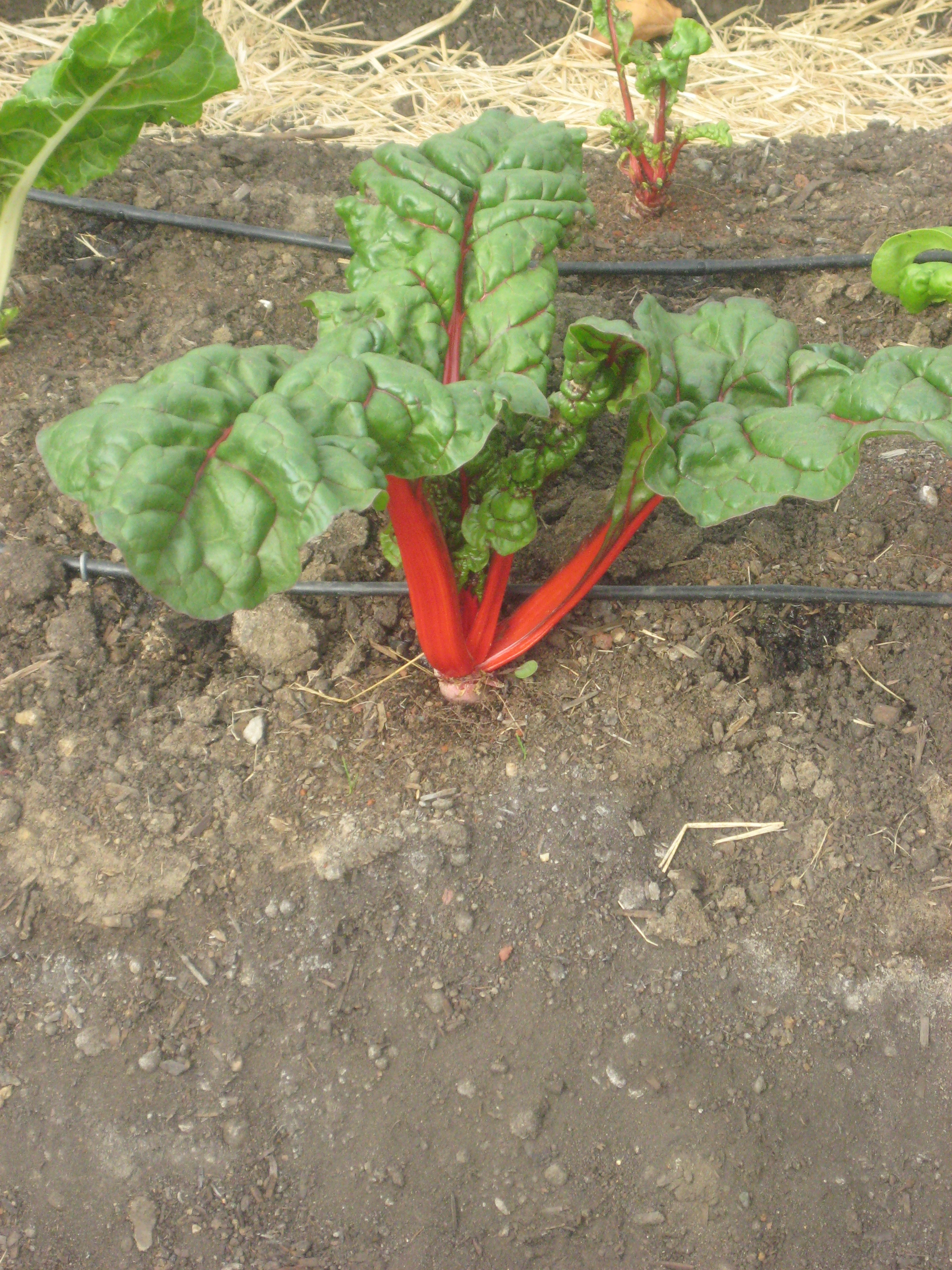 The vibrant stems of red chard remind me of Christmas.