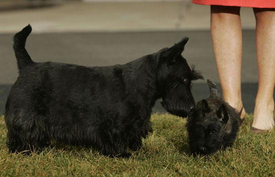 Breed Spotlight: Scottish Terrier
