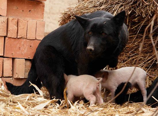 Orphaned Piggies Love Their Doggie Foster Mom!