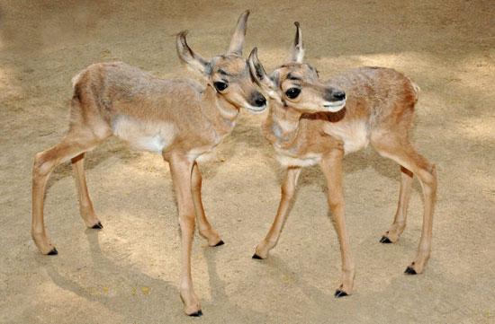 Meet the First Peninsular Pronghorns Ever Born at a Zoo!