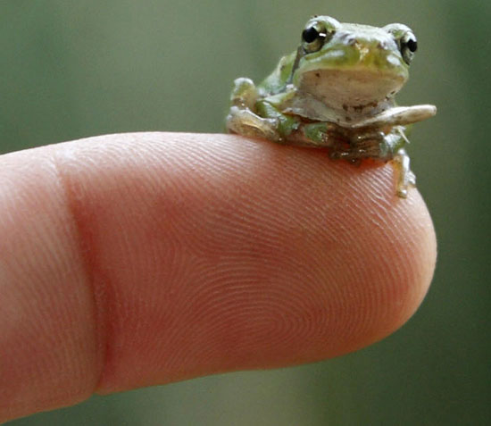 Catch-and-Release, This Frog's the Size of Your Fingertip