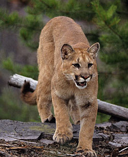 Father Saves Son from Mountain Lion Attack