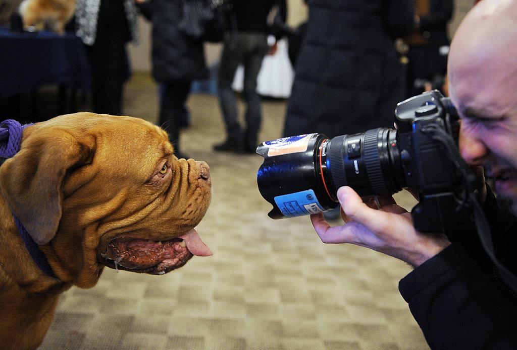 Breed Spotlight: Dogue de Bordeaux