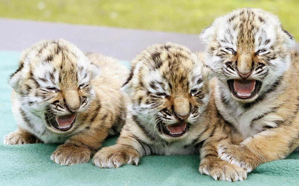 Bella's Tiger Babies