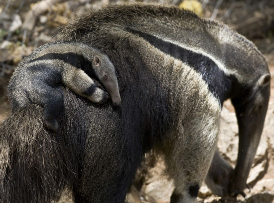 Baby Giant Anteater Named Pet Giant Anteater