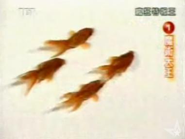 Cute Alert: Goldfish Synchronized Swimming
