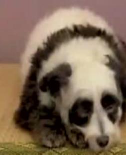 It's A Panda! It's A Dog!  It's A Pandog!
