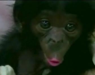 Cute Alert: Chimp Flirts for the Camera