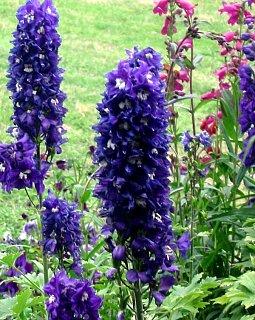 Flowers 101: Delphinium