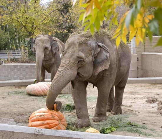 Creature Features: Elephants Smashing Pumpkins