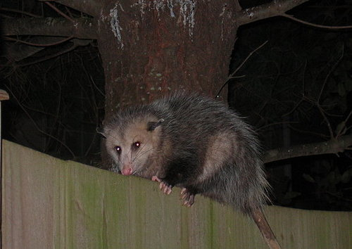 Guess Who's Back?  It's Time to Name the Opossum!
