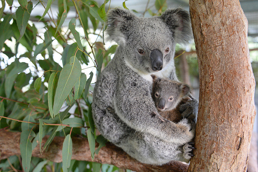 Baby koala stays with mom during surgery popsugar pets - Pictures of koalas and baby koalas ...