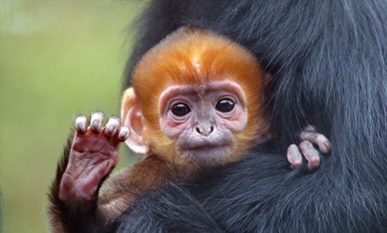 San Francisco Giants Rally Monkey Born At Sf Zoo